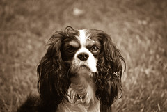 oliver is rarely so serious (Rocco's Lab) Tags: dog king oliver charles spaniel cavalier supershot rubyphotographer