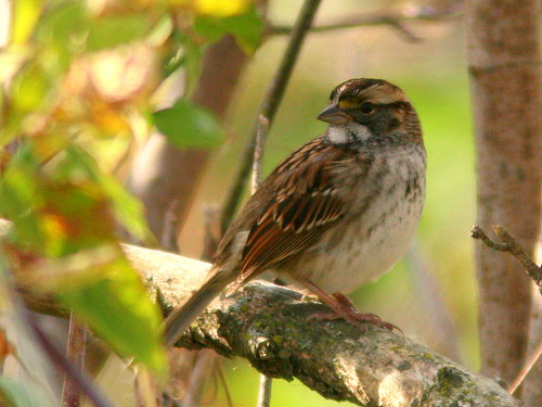 White-throated Sparrow 20100115
