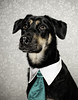 Kayce has her turn.... (chad.latta) Tags: lighting rescue dog chien animal butterfly costume mix nikon chad shepherd gap dressup tie suit perro paramount strobe latta kayce d80 strobist