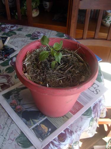 17- Aji. huertaenjaulada.blogspot.com
