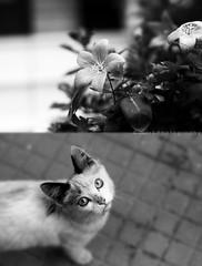 ([L] di .zuma) Tags: miao fiore bianco nero biancoenero titti mew gatta occhidigatto dittico