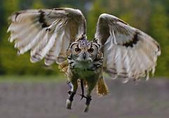 Bengal Eagle Owl (Ian Lambert) Tags: lancashire captive bengaleagleowl owls birdofprey sanctury bubobengalensis indianeagleowl rockeagleowl turbarywoods thewonderfulworldofbirds slbflying