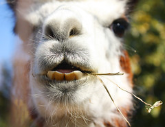 Not So Pearly Whites (Amber Dawn Photos) Tags: trip autumn food brown white macro cute fall college wool alpaca face animals sign st yellow closeup fence outside woods seasons eating teeth mary llama straw fluffy moms feed hay dinnertime stmaryofthewoods momsmoms