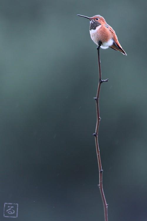 Allen's Hummingbird 101810