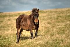 Dartmoor Pony (rosiespoonerphotos) Tags: uk england horses animals lens photography nikon flickr dof pony devon 70300mm tamron dartmoor dartmoorpony d5000 tamronaf70300mmf456dildmacro nikond5000 rosiespooner rosyrosie2009 rosemaryspooner rosiespoonerphotography