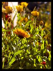 (Josephine Dahl) Tags: flowers orange sunshine garden dof bokeh gardening sunny september marigold ourgarden sunnyday latesummer orangeflowers flowersinourgarden wonderfulworldofflowers