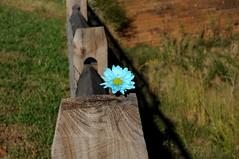azul (Patron Miller Photography) Tags: blue flower fence nikon kartpostal d5000
