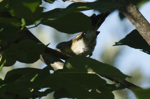 Nashville Warbler (1)