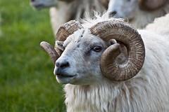 Hrtarnir  Fnjskadal (olikristinn) Tags: animals iceland tour sheep kind domestic rams ram eyjafjordur kindur f 2010 eyjafjrur icelandic icelandicsheep hrtur helgarfer september2010 hrtar northernpart septemberii 1692010