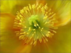 Gold Icelandic Poppy, close up