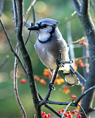 Blue Jay in the Woods (Beth Crawford 65) Tags: blue red orange fall nature birds animals fauna mi canon colorful berries michigan wildlife branches vivid bluejay avian clarkston autumnmorning bethcrawford