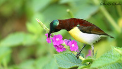 Purple rumped sunbird (sathellite) Tags: india nature birds pune purplerumpedsunbird nectariniazeylonica shishir sathe anawesomeshot flickrdiamond sathellite shishirsathe shishirsathephotography