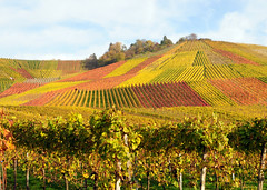 Autumn Vineyard (Habub3) Tags: travel autumn panorama holiday plant fall texture nature berg leaves germany landscape deutschland vineyard interestingness interesting flora nikon colorful europa europe map urlaub herbst natur pflanze explore grapes landschaft frontpage vacanze reise wein weinberg d300 beutelsbach weintrauben remstal weinstadt habub3