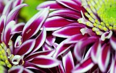 gianva   (carlini.sonia) Tags: flowers yellow flickr natura giallo fiori sonia amici dedica compleanno bianco amicizia auguri giancarlo gianva