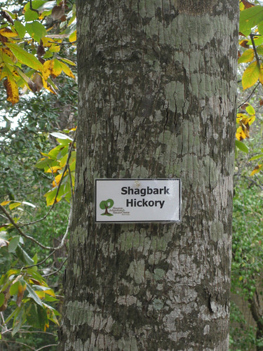 ShagbarkHickory