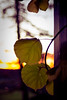 50 of 52 - Sunset And Wine Leaves (Olivia Elmiger) Tags: autumn sunset orange purple grapes oe whine 52weeks œ olivaelmiger