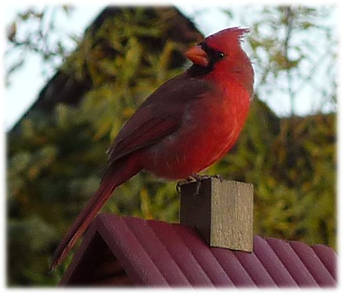 cardinal on log cabin up close