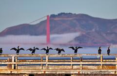 DSC_0990 (C. Roy Yokingco) Tags: sf sanfrancisco california ca bridge usa birds hail fog pier dock nikon treasureisland sunny goldengate handheld cormorant tribute nikkor d90 tc17eii birddance afs70200mm birdworship