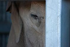 Captive (San Diego Shooter) Tags: elephant zoo sandiego caged elephants uncool captive sandiegozoo cagedanimal captiveanimal uncool2 uncool3 uncool4 uncool5 uncool6 uncool7