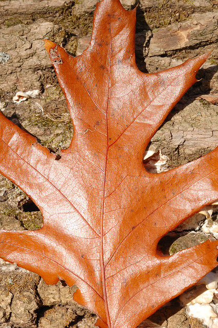 Broemmelsiek Park, in Saint Charles County, Missouri, USA - brown leaf