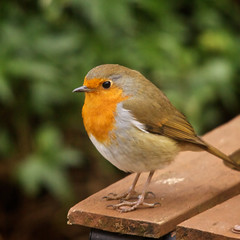 Robin (Future-Echoes) Tags: bird eye feet robin animal bokeh beak bokehlicious