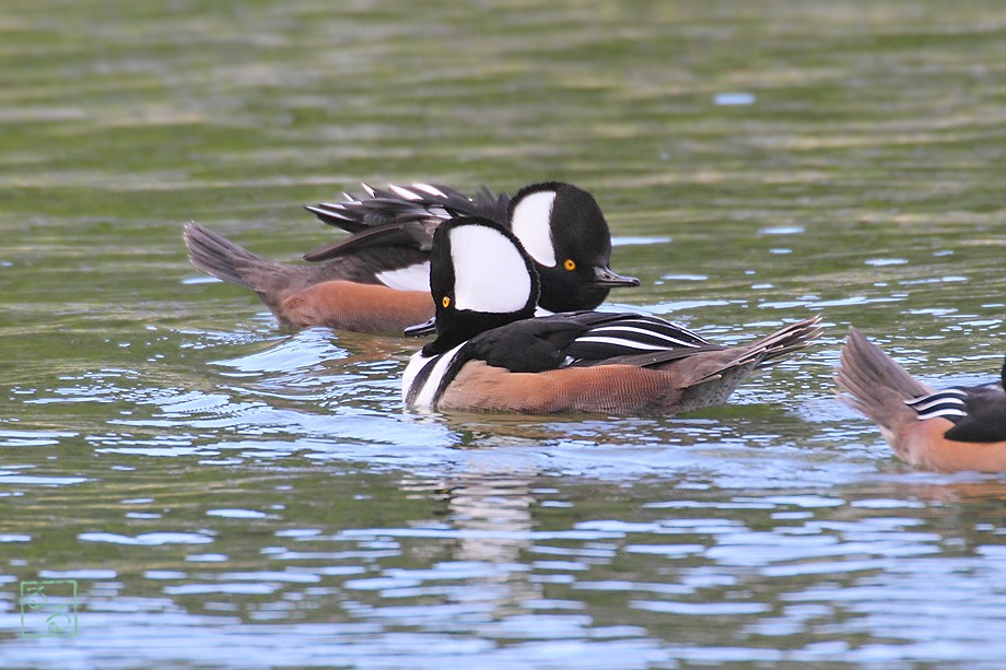 Hooded Merganser 112110-9