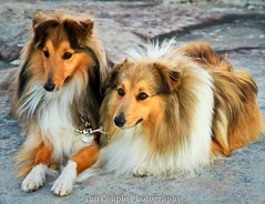 Chilling Together (Tan Couple) Tags: slr canon eos sheltie sheepdog australia sally rufus 7d mm efs shetland 1585