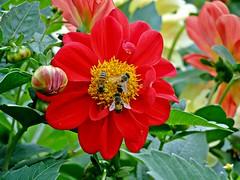 Essa tem! (Rubens.Campos) Tags: flores flower bird braslia brasil df pssaro bee abelha artisticphotos