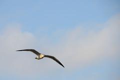Flying gull (naitokz) Tags: bird japan fly gull yokohama kanagawa