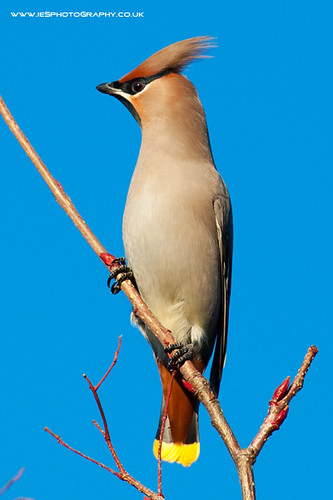 5215211830 d3bc9ed0e1 Waxwings in the UK