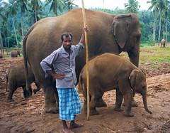 Putování Šrí Lankou – díl 6. anebPinnawala, sloní sirotčinec