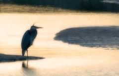 At dusk -- a recropped version (gcquinn) Tags: bird wet water beautiful geoff quinn sanfranciscobay geoffrey presidio stork blueribbonwinner firsttheearth