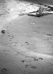 Paw Prints ... (PositiveAboutNegatives) Tags: leica dog film beach 50mm lab labrador yellowlab digging rangefinder summicron neopan mp 50mmsummicron 11826 legacypro
