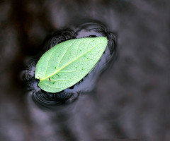[floating] (Hammonton Photography) Tags: camera brown black detail macro green nature water colors leaves rain digital lens puddle outside outdoors leaf nikon colorful flickr december natural bokeh vivid professional 55mm pro organic dslr float 2010 d5000 jessicadigiacomo hammontonphotography