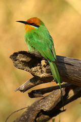 Boehm's Bee-eater (Nick a Quid) Tags: greatphotographers avianexcellence amazingwildlifephotography allofnatureswildlifelevel1 allofnatureswildlifelevel2 rememberthatmomentlevel2