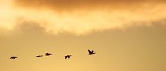 Birds. (▲SBJØRN) Tags: sky orange sun bird art birds sunrise 35mm focus warm sundown wildlife sony 300mm swans alpha f18 230 andersen asbjørn hundested a230 frederiksværk halsnæs