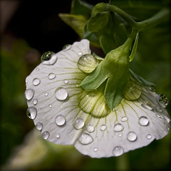 morning showers (Celeste M (more off than on)) Tags: white green flora ngc drop sweetpea droplet greatphotographers flickrflorescloseupmacros elitephotographers thebestofmimamorsgroups oracosm magicunicornverybest magicunicornmasterpiece fleursetpaysages mothernaturesgreenearth naturelover greaterphotographers sunofgodphotographer greatestphotographers ultimatephotographers masterclasselite