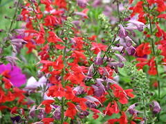 Annual Garden (AmyWoodward) Tags: salvia fantasticflower
