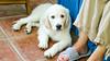 Charlie 11 weeks (Mark Rainbird) Tags: dog powershots100 canon retriever uk puppy burghfieldcommon england unitedkingdom gb