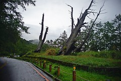DSC07333 (rc90459) Tags: 最後的夫妻樹 夫妻樹 塔塔加 玉山