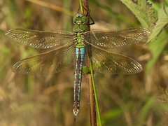Emperor Dragonfly (Female) (ukstormchaser (A.k.a The Bug Whisperer)) Tags: emperor dragonfly female dragonflies basking grass meadow fly flies macro animal animals wildlife milton keynes july perched blue form