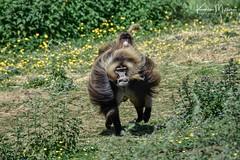 Gelada Baboon (Karen Miller Photography) Tags: edinburghzoo zoo captivity captive edinburgh geladobaboon baboon running action animal nikon rzss scotland enclosures karenmillerphotography