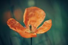 catch some sunshine (christian mu) Tags: flowers nature bokeh christianmu muenster münster botanicalgarden botanischergarten germany poppy mohnblume sonya7ii sony 9028g 90mm 9028 macro summer schlossgarten