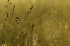 Golden Spider Web (craig_schenk) Tags: winner june sunrise spider web spiderweb grass field fineart morning morninglight golden warm warmlight insect nature naturephotography goldenhour flora