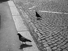 El paseo de las palomas (no sabemos cómo llamarnos) Tags: texturas textured blancoynegro blackandwhite noiretblanc palomas colombes pigeons dove pájaro bird oiseaux acera