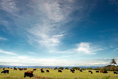 Hana Maui HI (jeffkingla) Tags: ocean clouds hawaii nikon cows maui hana nikkor d700 072410