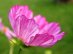 Give each day the chance to become the most beautiful in all your life. (ewka2205) Tags: pink summer flower macro green garden petals cosmos kosmos zielony