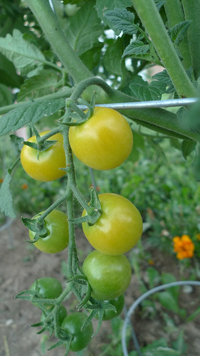 lollypop tomatoes