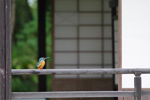 kingfisher in Tensya-en garden