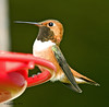 The Stuffed Shirt (jimgspokane) Tags: birds wildlife hummingbirds rufoushummingbirds onlythebestare naturewatcher